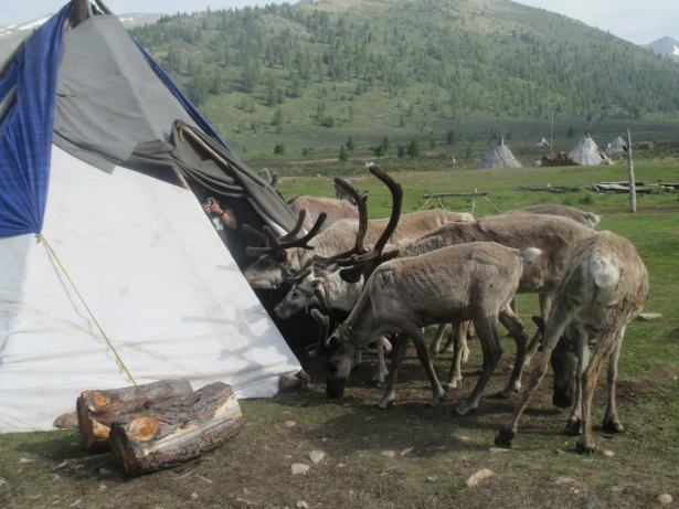 And I shall end with this photo of a bunch of reindeer peeking into our teepee